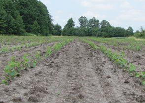 Zadbana plantacja topoli